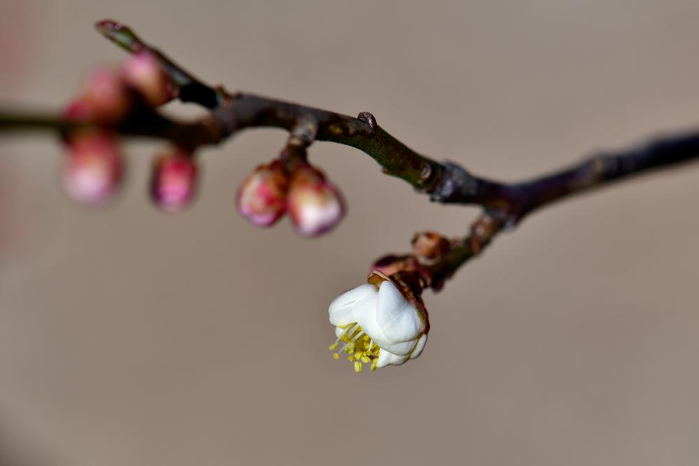 梅が咲いた(平成31年 立春)