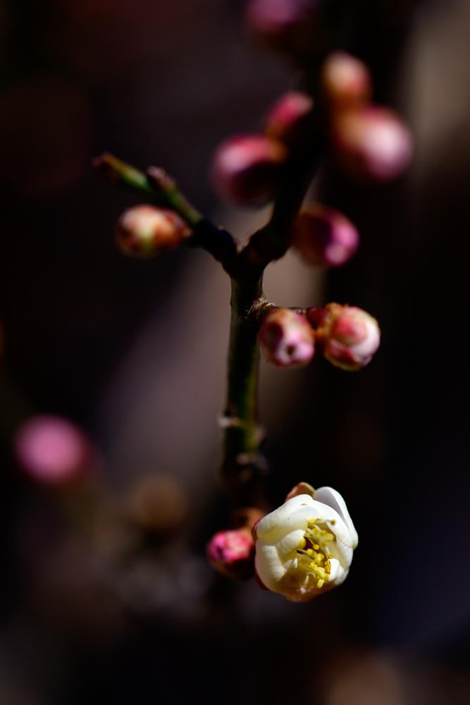 梅が咲いた(平成31年)